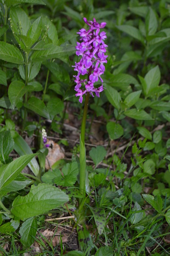 Early purple orchid, Orchis mascula. www.bewdleyorchids.com