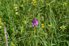 Picture Pyramidal orchid with yellow rattle. Bewdley Orchids