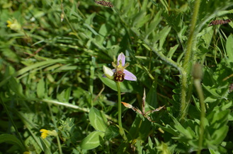 Picture Bee orchid. Bewdley Orchids